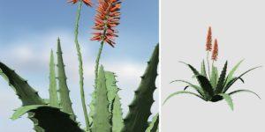 Aloe Vera: (Large)