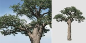 Baobab: Field (Madagascar)