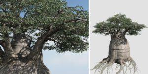 Baobab: Field (Australian)