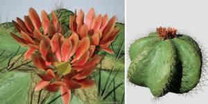 Barrel Cactus: (Dwarf)
