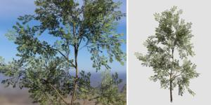 Eastern White Pine Sapling