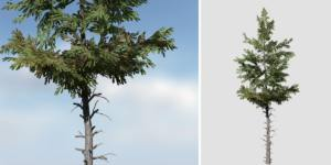 Norway Spruce: Desktop Forest (Sparse)