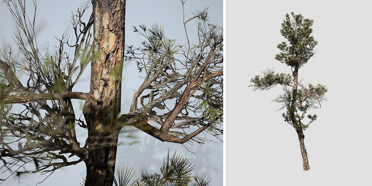 Aleppo Pine: Desktop Forest (Bent Trunk)