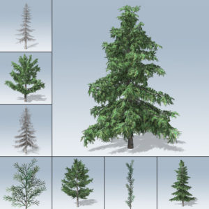 Alaska Cedar