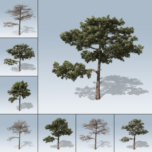 Huangshan Pine