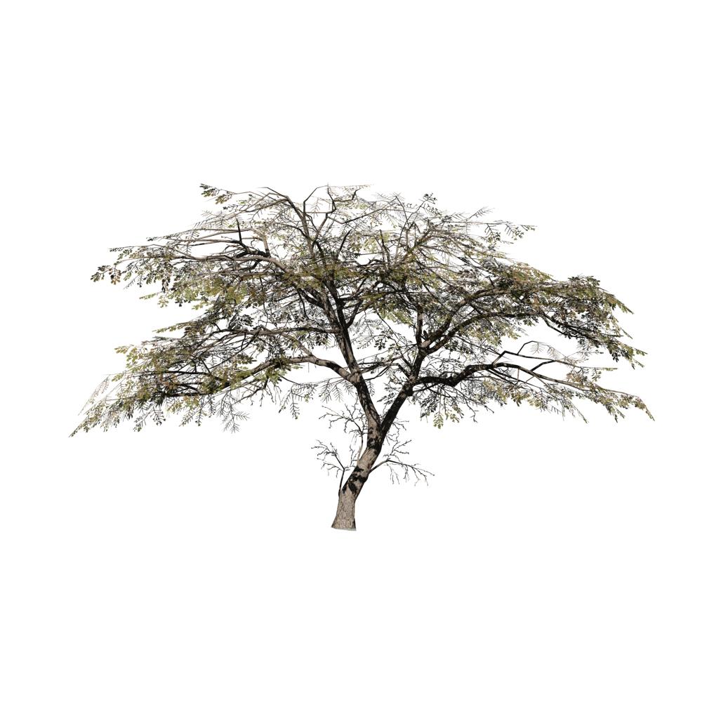 Acacia Species Pack