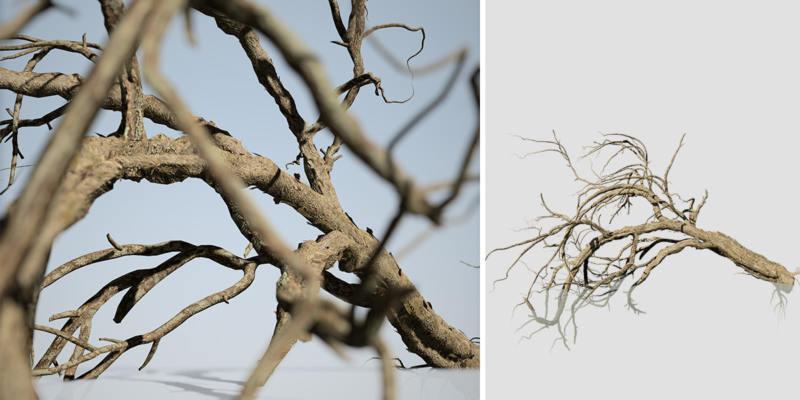 Acacia: Fallen