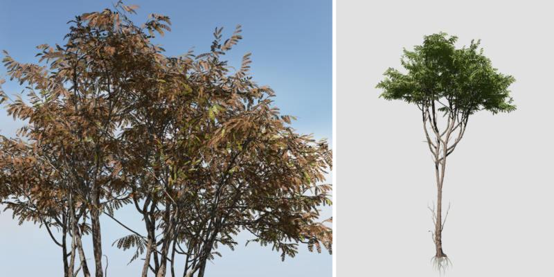 Acacia: Jungle