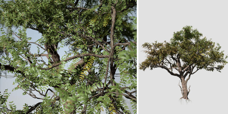 Acacia: Savanna