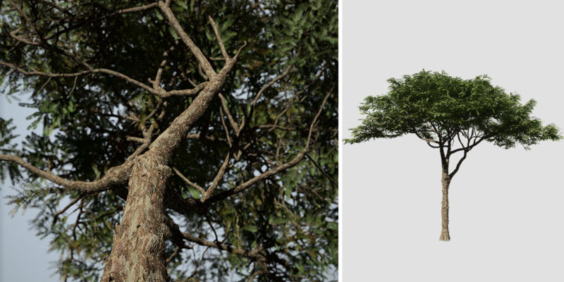 Acacia: Savanna (Round Canopy)