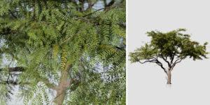 Acacia: Savanna (Broad Canopy)
