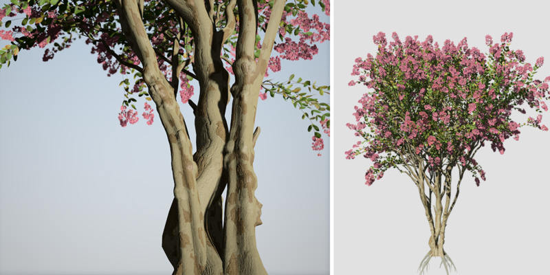 Crape Myrtle: Basham Party Pink
