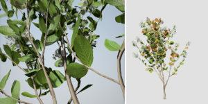 Crape Myrtle: Natchez Seedling