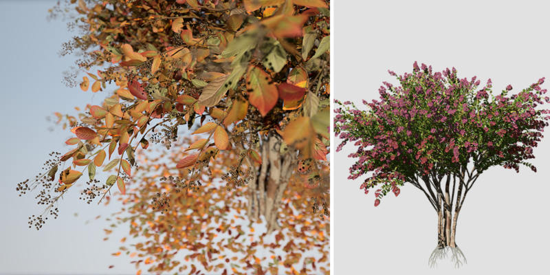 Crape Myrtle: Red Arapaho