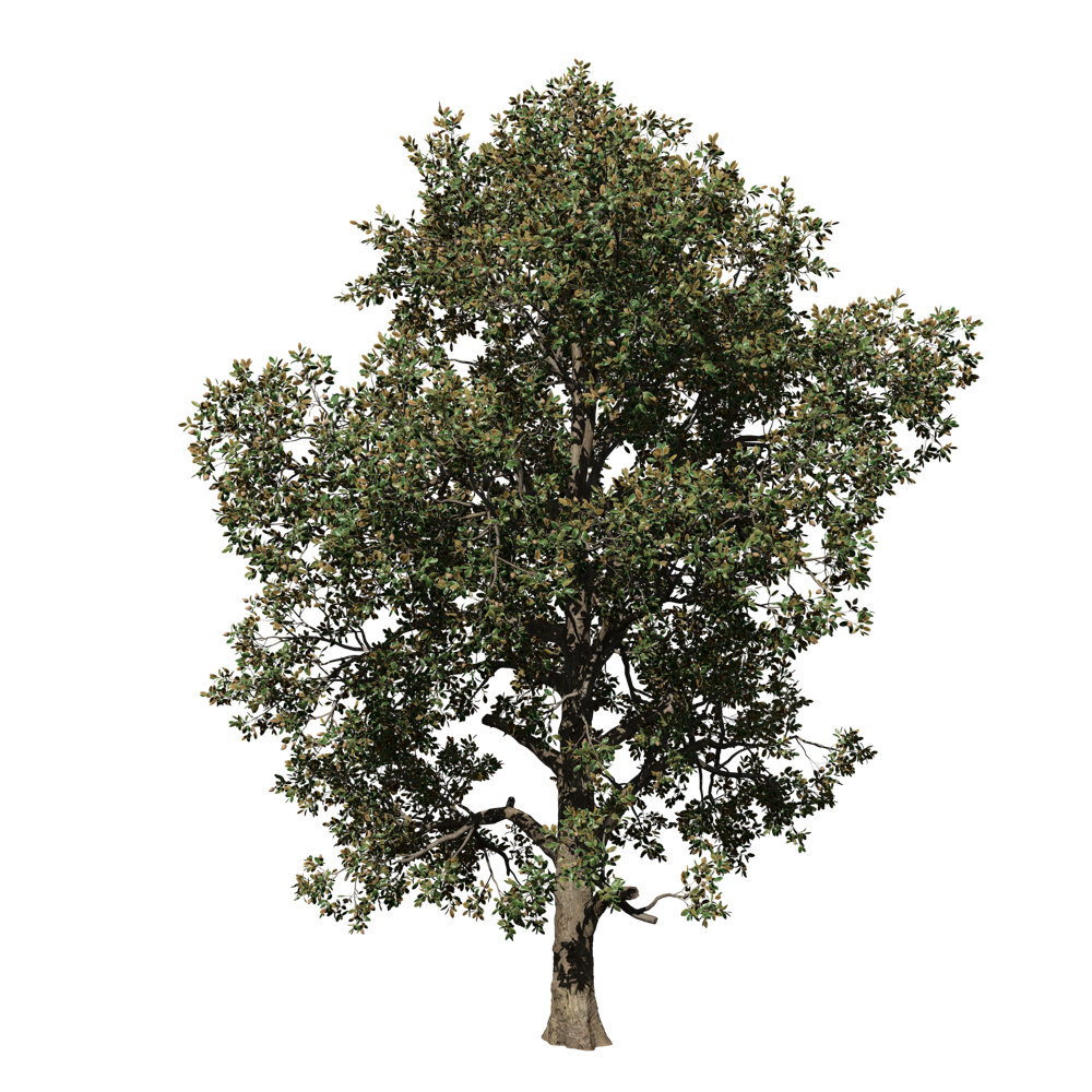 Southern Magnolia: Forest (Oval)