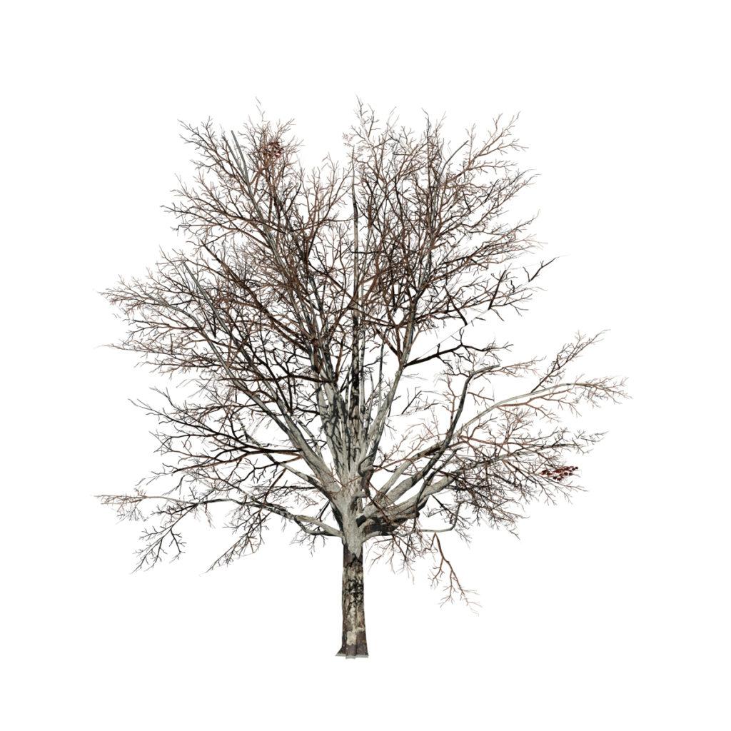 Sugar Maple: Desktop Field (Natural)