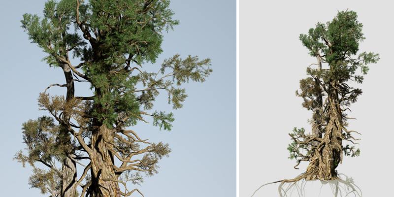 Bristlecone Pine: Forest
