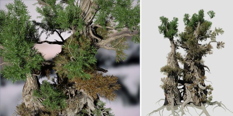 Bristlecone Pine: Field