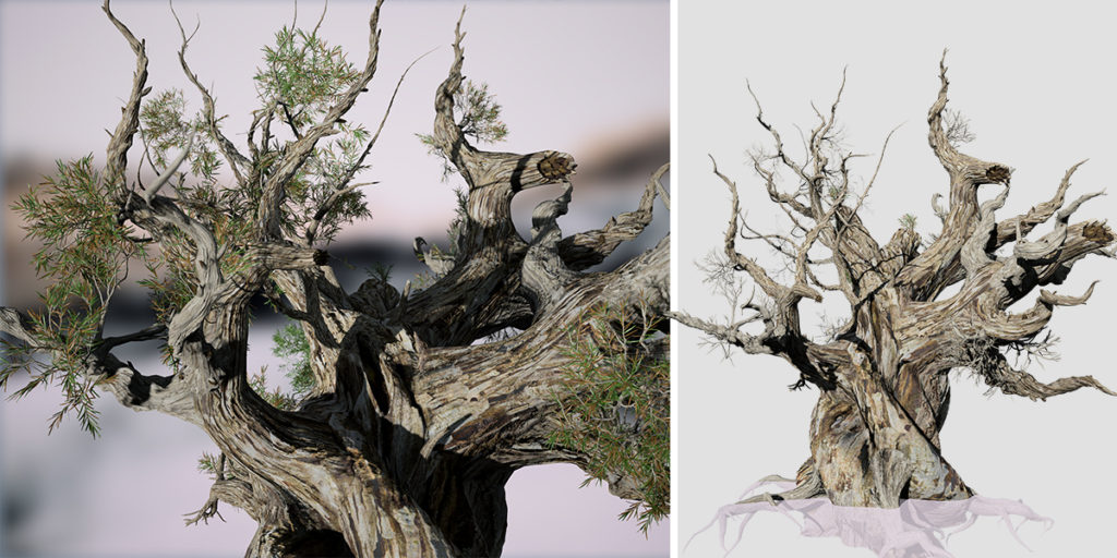 Bristlecone Pine: Ancient