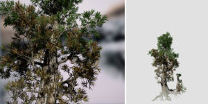 Bristlecone Pine Sapling