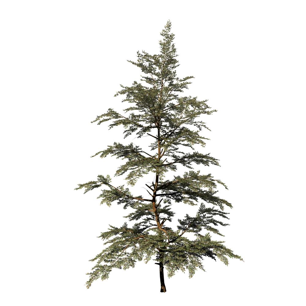 Redwood Sapling