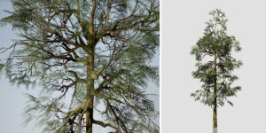 Sierra Redwood: Sapling