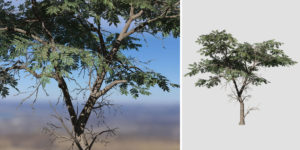 Acacia: Desktop Forest