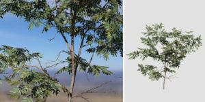 Acacia: Sapling