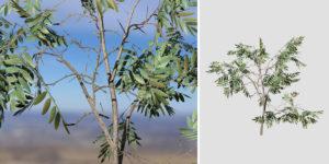 Acacia: Seedling