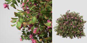 Azalea: Pruned Hedge