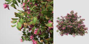 Azalea: Hedge