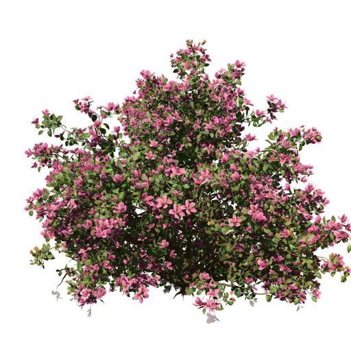 Azalea: Hedge 2