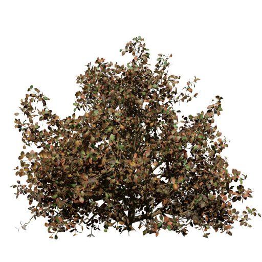Azalea: Hedge 4