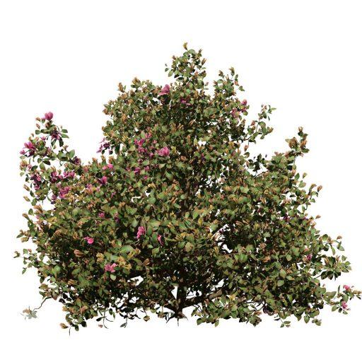Azalea: Hedge 5