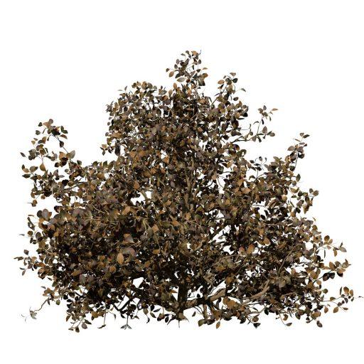 Azalea: Hedge 6