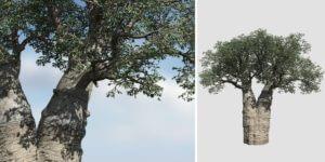 Baobab: Field (African)