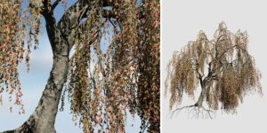 Weeping Beech: Bankside