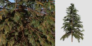Hiba Arborvitae Cedar: Field (Wide)