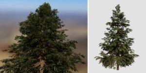 Hiba Arborvitae Cedar: Field (Narrow)