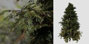 Hiba Arborvitae Cedar: Field (Dense)