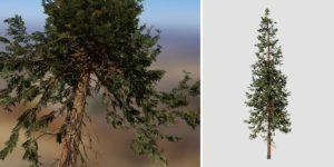 Hiba Arborvitae Cedar: Forest (Tall Height)