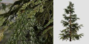 Hiba Arborvitae Cedar: Forest (Medium Height)