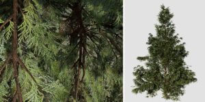 Hiba Arborvitae Cedar Sapling