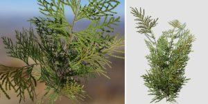 Hiba Arborvitae Cedar Seedling
