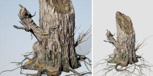 Elm Stump: (Single)