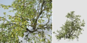 Water Elm: Bankside (Understory Growth)