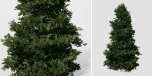 Douglas Fir: Christmas