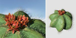Barrel Cactus: Hero (Short)