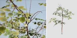 Dogwood: Sapling (Small)