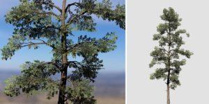 Eastern White Pine: Desktop Field